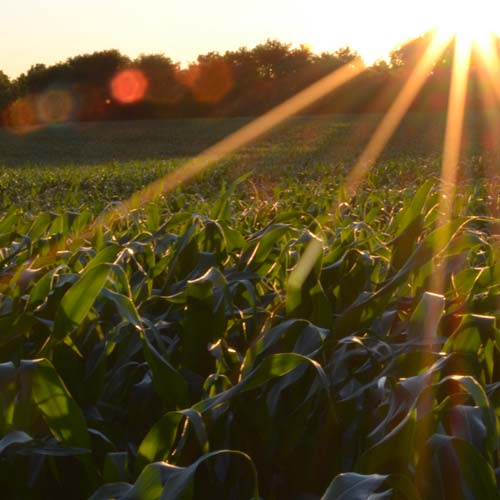 The sun setting on a corn field